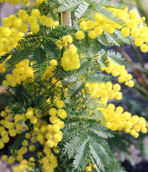 many yellow flower of mimosa plants symbol of international women's day 8th March IWD International Women Day International Women's Day International Women's Day 2018 Love Mimosa Flowers Background Festa Della Donna Festa Delle Donne Flower Gifts International Woman Day International Womens Day Mimosa Mimosa Flower Mimosa Pudica Mimosas Mimose Mothers Day Nature Spring Springtime Yellow ınternational Women's Day