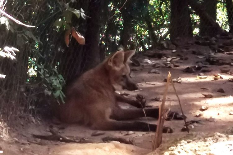 EyeEm New Here Guará Wolf Lobo Guara Zoo No People Outdoors Beauty In Nature Sunlight Wild Animal Themes EyeEmNewHere EyeEm Selects