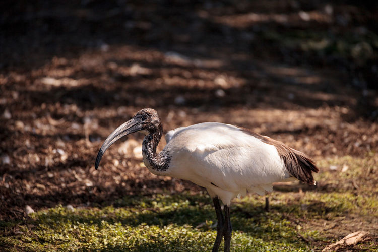 African sacred ibis called Threskiornis aethiopicus aethiopicus is found in the sub-Saharan Africa African Sacred Ibis Threskiornis Aethiopicus Threskiornis Aethiopicus Aethiopicus Animal Themes Animal Wildlife Animals In The Wild Avian Bird Birds Day Ibis Ibis Bird Nature No People One Animal Outdoors Sacred Ibis Wild Bird Wildbird