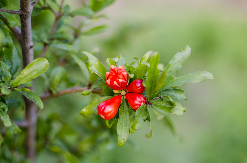 Beauty In Nature Close-up Flower Flower Collection Flower Photography Flowers Flowers, Nature And Beauty Flowers,Plants & Garden Flowers_collection Focus On Foreground Fruit Leaf Nature Outdoors Pomegranate Pomegranate Flowers Pomegranate Tree Pomegranate ❤ Pomegranateflower Pomegranates  Red Red Flower Red Flowers Tree