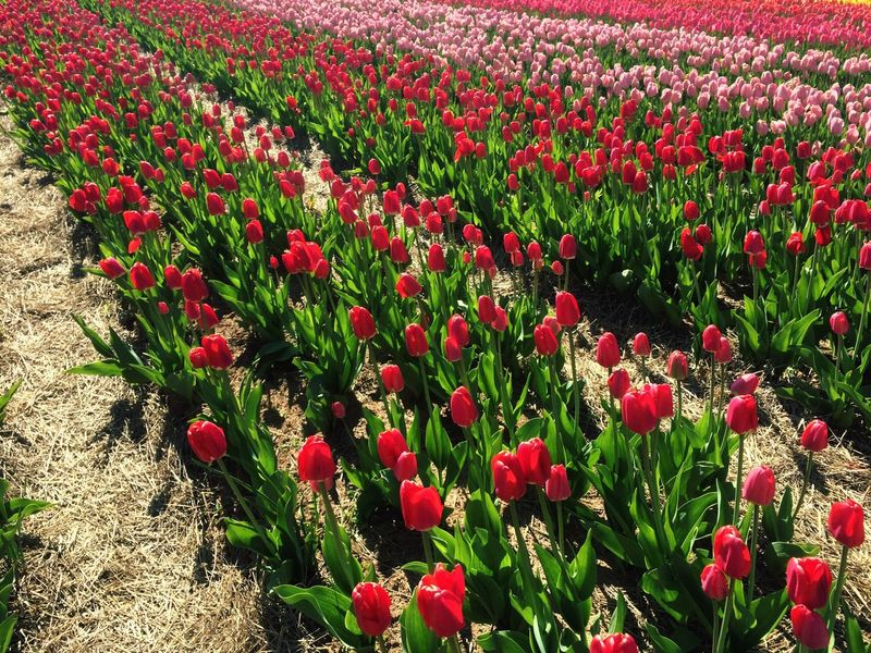 Flower Growth Red Field Nature Beauty In Nature Freshness Plant Fragility Flower Head Poppy Petal No People Day Flowerbed Outdoors Tulip Rural Scene Blooming Springtime