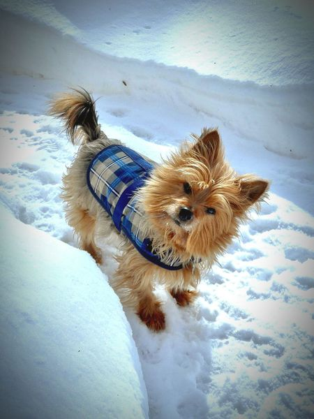 Shades Of Winter Furbaby Bestfriend Pup Wintertime Playful Dog Dog Pets Animal Themes Domestic Animals One Animal Snow Nature Cold Temperature Winter Day Paw Print BestFriendsForLife Yorkshire Terrier♡ Furrybabies Tiny Close-up Tail Reflection Small Dogs  Small Dogs  Pet Clothing Small Red Outdoors