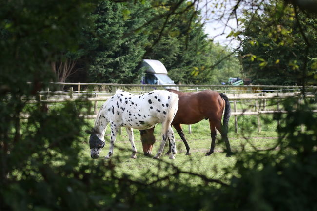 Farm Animals Animal Themes Black And White Horse Brown Horse Day Domestic Animals Fence Grass Horses Grazing Mammal Nature No People Outdoors Tree White Horse With Black Spots