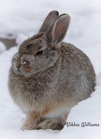 Mr Buns Resident Bunny Monday Photography Love Wildlife Photography Capture The Moment North Dakota Badlands Winter Furry Rabbit North Dakota Animal Themes Mammal One Animal Close-up Pets No People