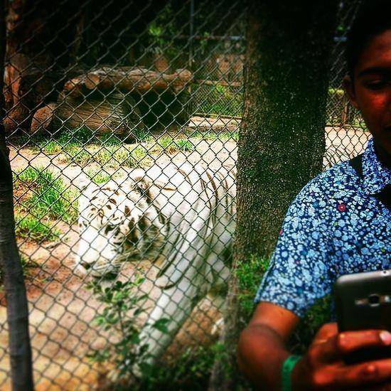 Tigers ZOO-PHOTO