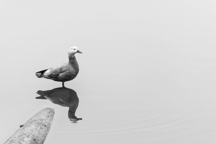 Animal Themes Animal Wildlife Animals In The Wild Bird Black Black & White Blackandwhite Day Duck Nature No People One Animal Outdoors Still Life Water Negative Space Minimalism Minimalist