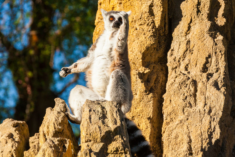 Lemur sitting on rock formation during sunny day