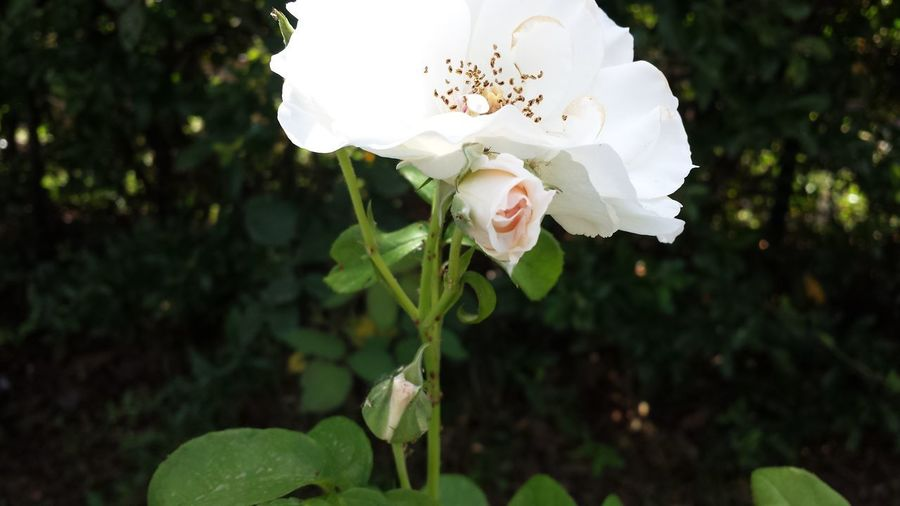 Close-up of white rose flower