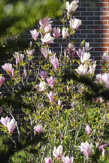Closer Magnolia Flower magnolia