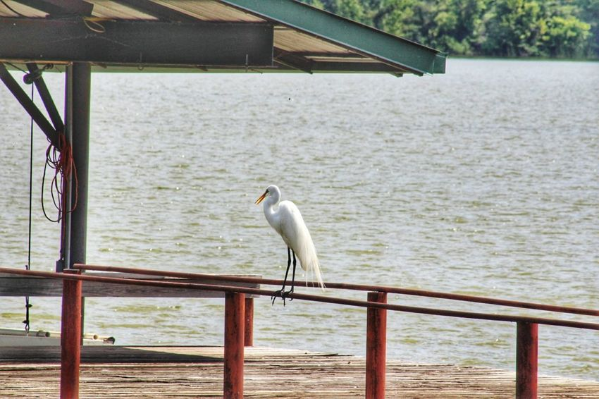 Sea Bird One Animal Animals In The Wild Nature Water Railing Day Animal Wildlife Outdoors Perching Animal Themes No People Beauty In Nature Camera Life Is My Life! EyeEmNewHere Country Road Country Life My Hobby 😁 Eyeemphotography Lakeshore White Bird