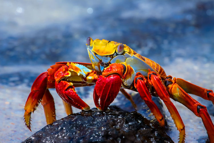 Sally lightfoot crab on a lava rock Animal Themes Animal Wildlife Animals In The Wild Beauty In Nature Cloroful Close-up Crab Crustacean Day EyeEm Best Shots Freshness Galapagos Galapagos Islands Nature No People One Animal Outdoors Sally Lightfoot Crab Sea Sunny Day First Eyeem Photo EyeEmNewHere
