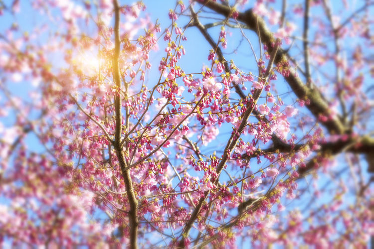 Cherry blossoms over blue sky background Flowering Plant Flower Freshness Beauty In Nature Tree Springtime Blossom Pink Color Selective Focus Low Angle View Nature Spring Cherry Tree