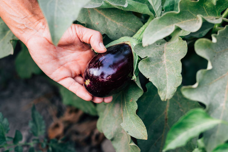 organic aubergine Agriculture Aubergine Field Finger Food Food And Drink Freshness Fruit Green Color Growth Hand Healthy Eating Holding Human Hand Leaf Nature Organic Organic Farm Organic Food Outdoors Plant Plant Part Ripe Vegetable Wellbeing
