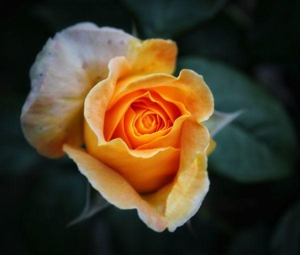 Flower Head Flower Rose - Flower Petal Beauty Love Close-up Plant