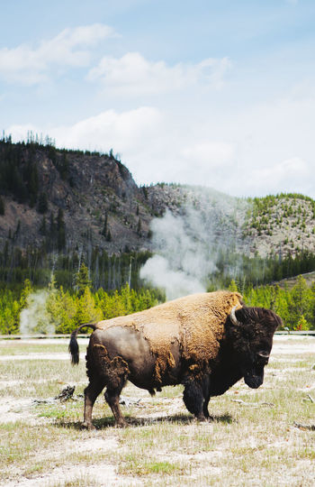 Yellowstone National Park Wyoming - Bison in geyser filed Bison EyeEm Best Shots EyeEm Nature Lover EyeEm Selects EyeEm Gallery EyeEmBestPics EyeEmNewHere Grass VSCO Wyoming USA Wyoming Landscape Yellowstone Ecosystem Yellowstone National Park Yellowstone Wildlife Animal Themes Beauty In Nature Bison In Natural Environment Bison, Buffalo, Blackbirds, Wyoming, Wild, Animal, Horns, Fur, Raw, Fields And Sky Geyser Grass Mammal Nature Outdoors Portrait