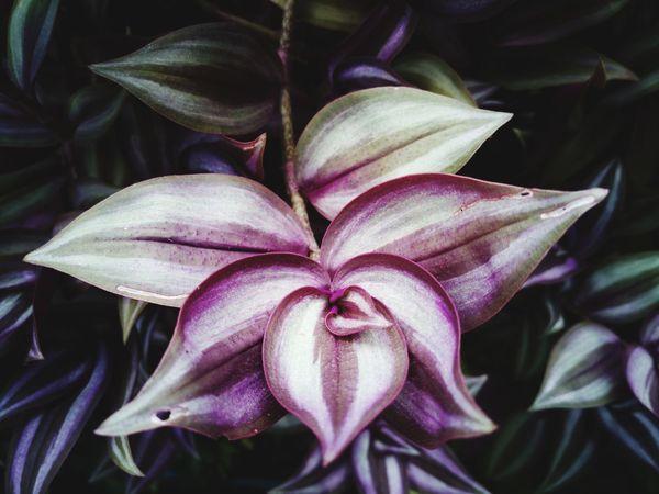 Tradescantia Zebrina Tradescantia Garden Arrangments Purple Spiderwort Leaf 🍂 Beauty In Nature Flower Close-up Vertical Garden Creeping
