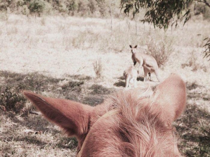 EyeEmNewHere Kangaroos Australia Outback Wildlife Animal Themes Animals In The Wild Horse Horseriding Jackeroo Grassland