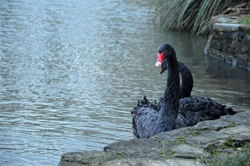 Black Swans Swimming On Lake