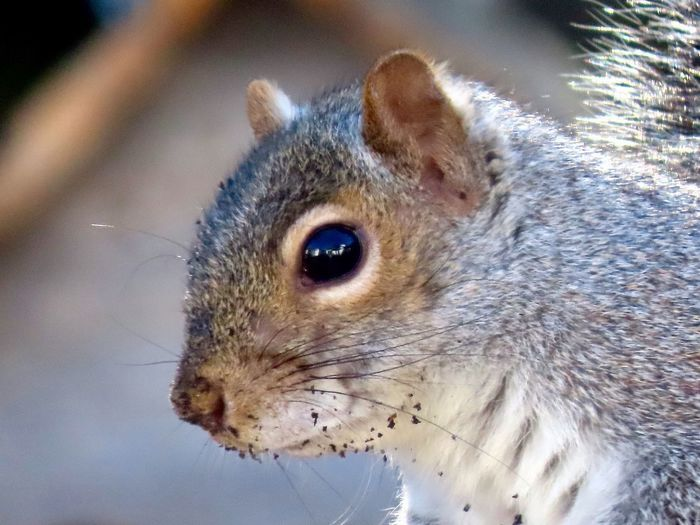 Squirrel headshot closeup dirty face focus on the foreground animal themes EyeEm nature lover outdoors One Animal No People Animal Wildlife Rodent Looking Away