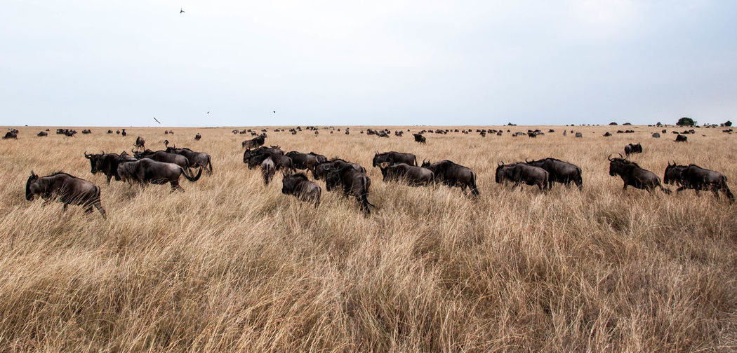 Herd of wildebeest on landscape against clear sky