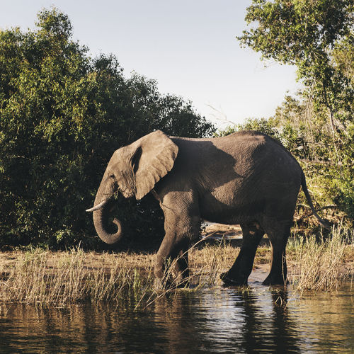 Africa African Elephant Animal Animal Themes Animal Wildlife Animals In The Wild Beautiful Centred Day Ear Eating Elephant Grey Mammal Nature No People One Animal Outdoors River Tree Trunk Wildlife & Nature Young Elephant Young Male Zimbabwe Miles Away