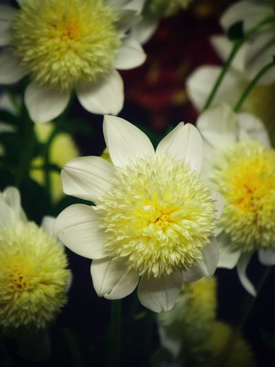 Dahlia Dahlia Flowers Dahlia Flower Background Backgrounds Flowering Plant Flower Vulnerability  Fragility Plant Freshness Petal Flower Head Growth Beauty In Nature Close-up Inflorescence Yellow Focus On Foreground Nature White Color Pollen No People Outdoors Day
