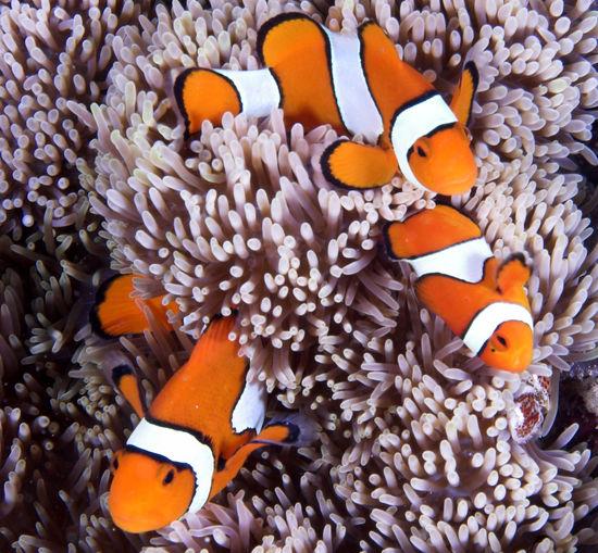 Three clownfish swimming around coral in sea