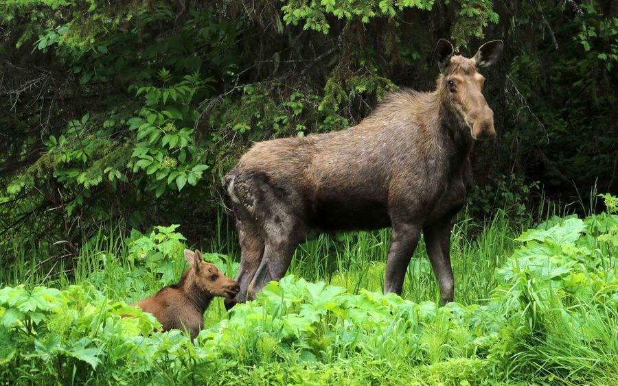 Mama Moose Fernie Wildlife & Nature Wildlife Photography Wildlife Wilderness Close Encounters Love