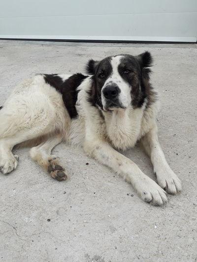 Spanish Mastiff Mastiff Spanish Mastiff Pets Dog Relaxation Portrait Cute Lying Down Canine Carnivora