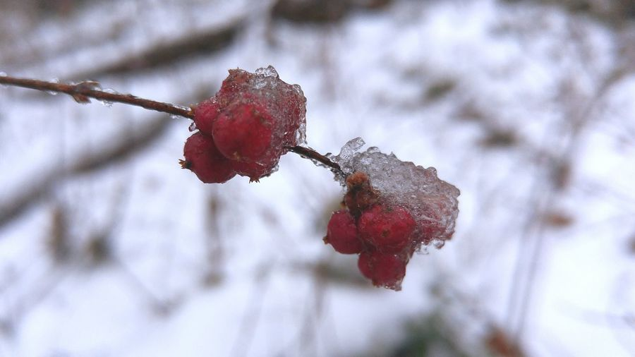 Low angle view of frozen red berries