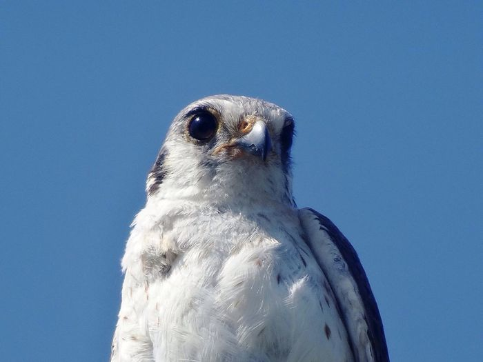 Nature Bird Birdofprey Blue Sky White Wild Looking Hunting