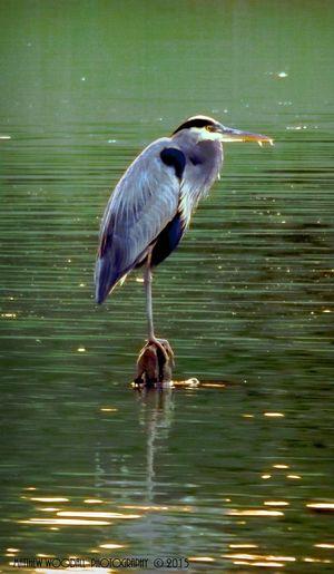 """Grey Heron"" Heron Pond Heron Water Bird Pond Life Bird Photography Birdwatching Wildlife & Nature Wildlife EyeEm At The Swamp!  Swamp Birds Southern Landscapes Beauty In Nature Alabama Grey Heron"
