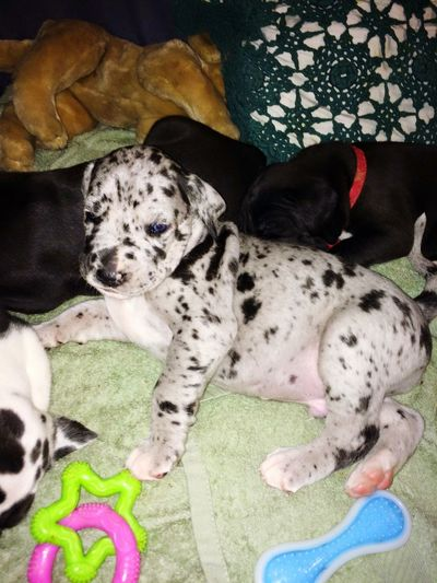 Summer Dogs Dogs Puppies Great Dane Hello World Spots Merle Blue Merle Big Dog Cute Puppies 3wks old deuces wild, son of Sir ace of spades