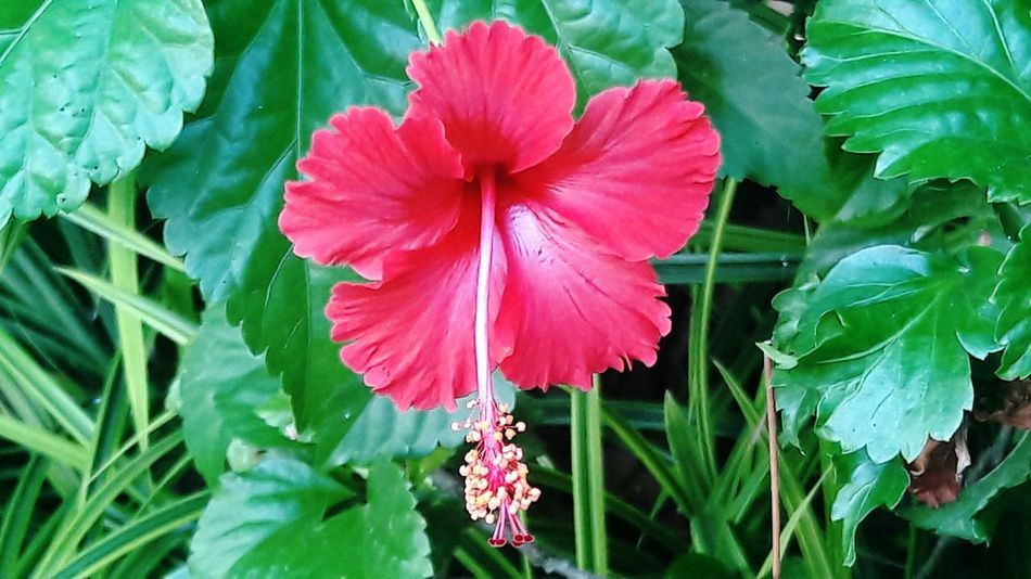 Check This Out Hibiscus 🌺 Single Flower Seremban Outdoor Photography Photo Hunting Malaysia Malaysia Photography Malayphotographer