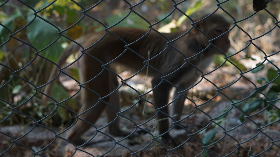 Defocused Monkey on Focused Iron fence EyeEm Selects Fence Chainlink Fence Security Protection Safety Metal Security System Prison Barbed Wire Day Outdoors Trapped Prisoner Sport No People Playing Field Military Close-up Nature Court Defocused Monkey Background Defocus Foreground Focus Sony A6000