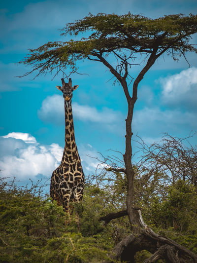 View of a giraffe against the sky