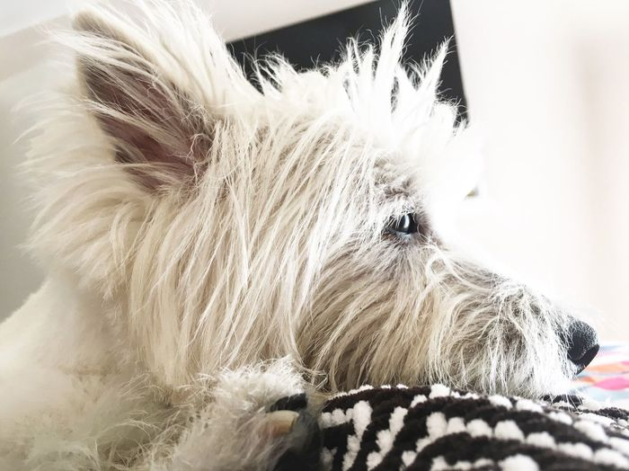 DonChoclo Westie Westielove Pets Dog