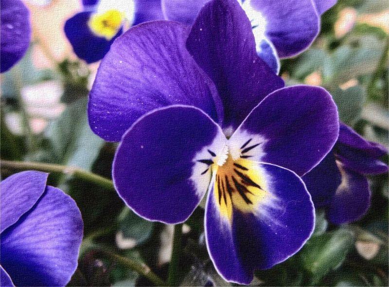 Pretty Pansy. In My Garden Denmark Tadaa Community EyeEm Flowers..