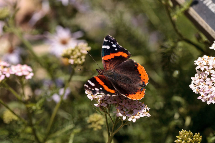 Red admiral butterfly, Vanessa atalanta, in a butterfly garden on a flower in spring in Southern California, USA Butterfly Flower Fluttering Garden Garden Photography Insect Nature Nectaring Red Admiral Butterfly Vanessa Atalanta Wing