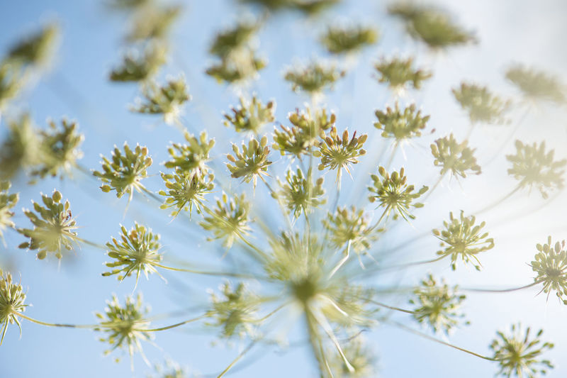 Cow parsley head detail on a blue sky Beauty In Nature Blue Close-up Cow Parsley Day Detail Flower Flower Head Flowers Freshness Hogweed Nature No People Outdoors Plant Sky