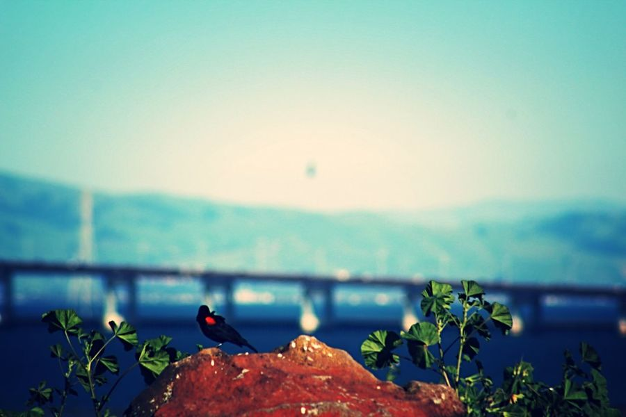 Taking Photos Birds_collection Birds Bay Area San Mateo Bridge San Mateo Bridge Black Bird