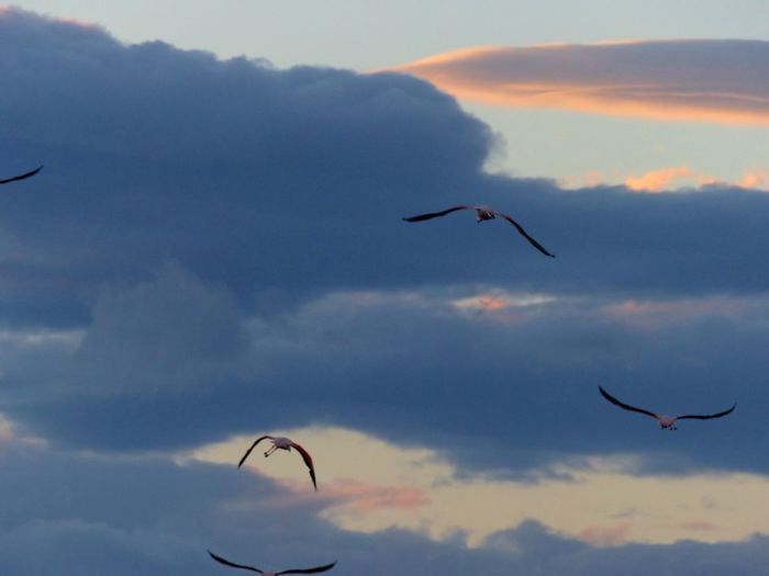 Bird Ciel Cloud - Sky Flamant Rose Flamingo Nature Outdoors Sky Soir Spread Wings