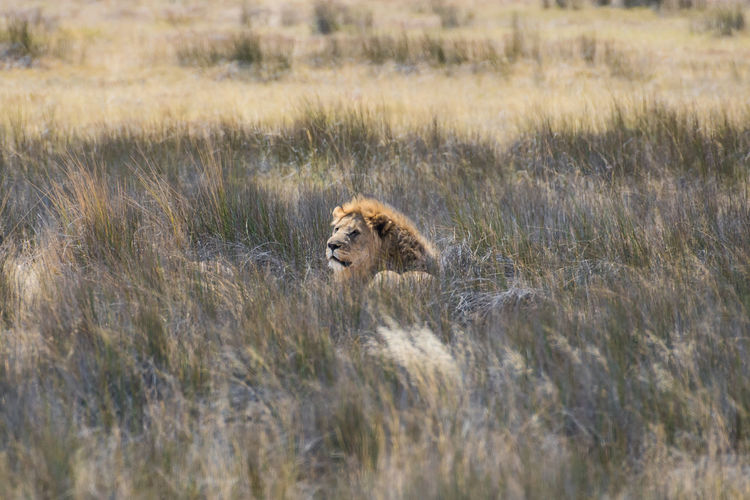 Lion Animals In The Wild Animal Themes Animal Wildlife Mammal Animal One Animal Cat Feline Lion - Feline Big Cat No People Grass Vertebrate Plant Nature Day Carnivora Portrait Selective Focus Undomesticated Cat Stealth NamibiaPhotography Etosha National Park Lion Wildlife Photography