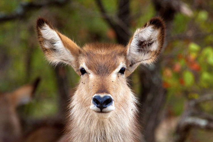 Close-up of portrait of waterbuck