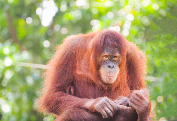 Orang utan Tree Portrait Ape Forest Red Looking At Camera Primate Close-up Tropical Rainforest Endangered Species Animal Hair Orangutan Threatened Species