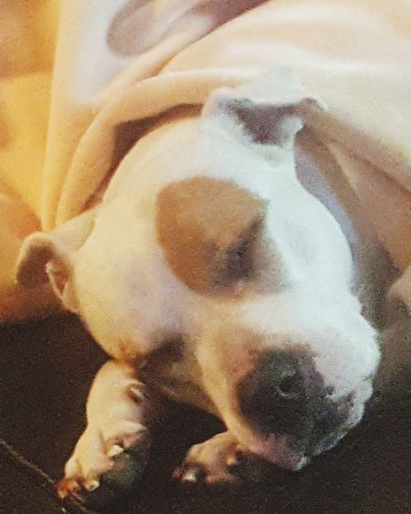 This is my Lily. She was the sweetest pit you would ever want to meet. We had to put her down on 06-12-17 @7P.M.. That was the hardest thing I've ever done. She will be waiting for me at the rainbow bridge. Love your babies while you have them. Lily got sick on a Tuesday and the following Monday we had to put her to sleep. RIP my beautiful daughter. Mommy loves and misses you very very very much. No People Pitbull♥ Sleeping Sleeping Beauty White Pitbull Brown Eyes Brown Spots Eye My Baby Girl ❤❤ Sleeping Dog Love Pit Bull Terrier Pit Bull, Sweetheart, Lover Not A Fighter Misunderstood STOP Hating I Love Taking Pictures <3 EyeEm Best Shots Check This Out Love My Dog  Don't Judge   My Dogs Are Cooler Than Your Kids My Dogs Are My Children Love Not Hate No Haters Allowed