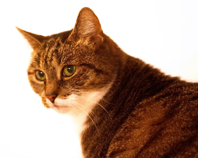Domestic Cat Pets Domestic Animals Feline One Animal Animal Themes Animal Mammal White Background Portrait No People Close-up Indoors  Day