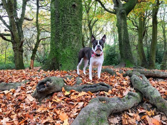 Boston Terrier I Love My Dog Autumn Colors London Fall Beauty Showcase: November