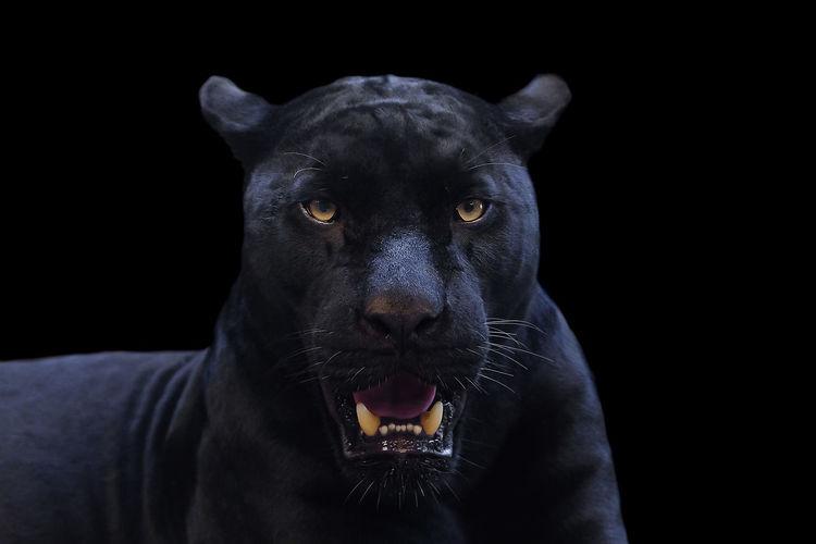 Close-up portrait of a black background