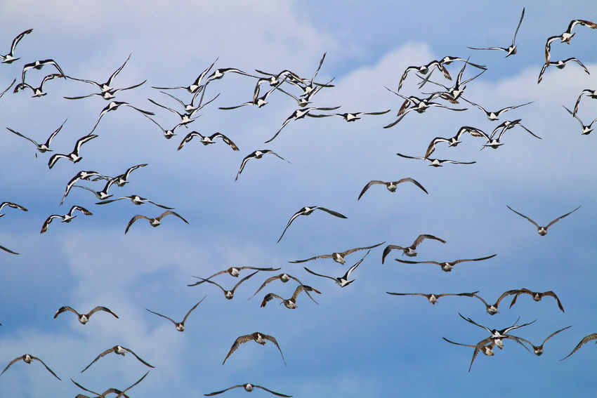 Oyster catchers in flight Animal Animal Themes Animal Wildlife Animals In The Wild Beauty In Nature Bird Blue Cloud - Sky Day Flock Of Birds Flying Group Of Animals Large Group Of Animals Low Angle View Mid-air Nature No People Sky Spread Wings Vertebrate